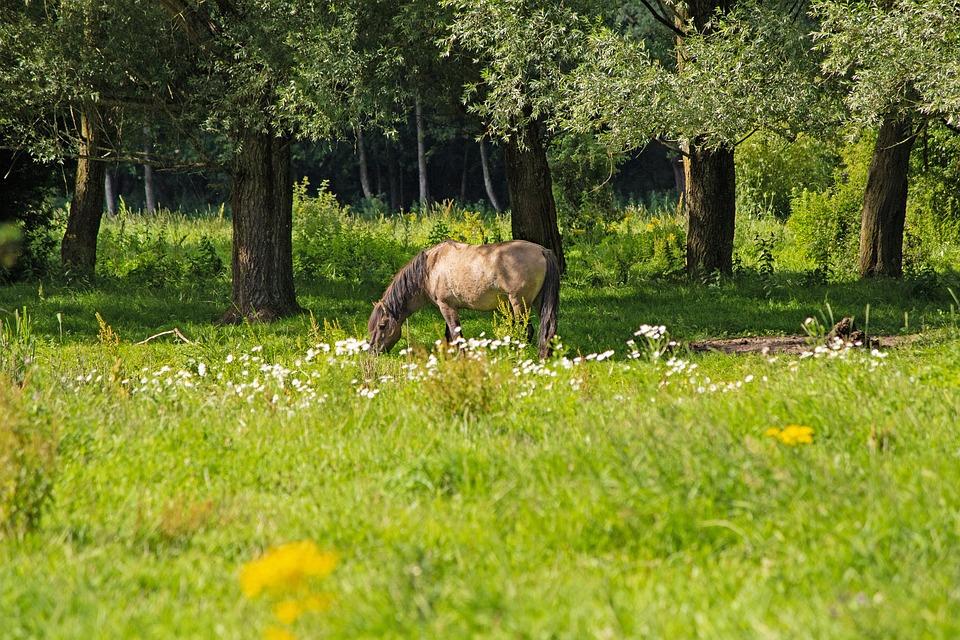 Konik Horse, Wild Horse, Animal, Stallion, Mammal