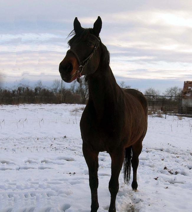 Horse, Mare, Stallion, Koník, Snow, Portrait