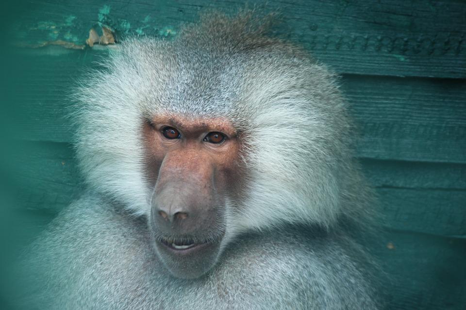 Monkey, Zoo, Konya