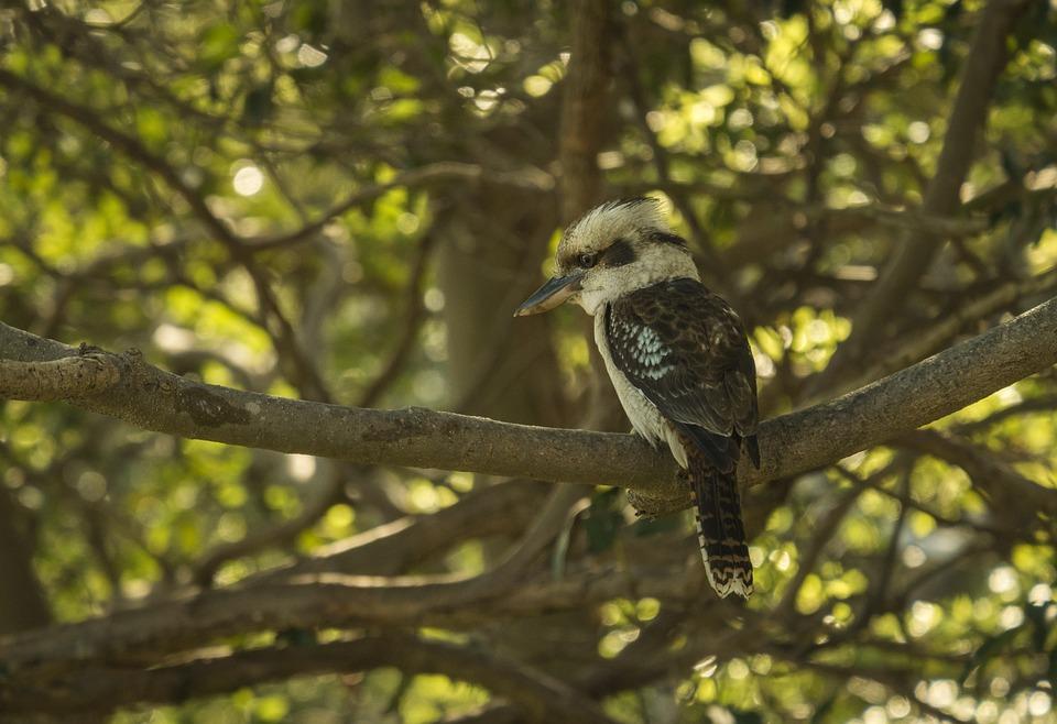 Bird, Australia, Kookaburra, Bill, Tree, Sitting