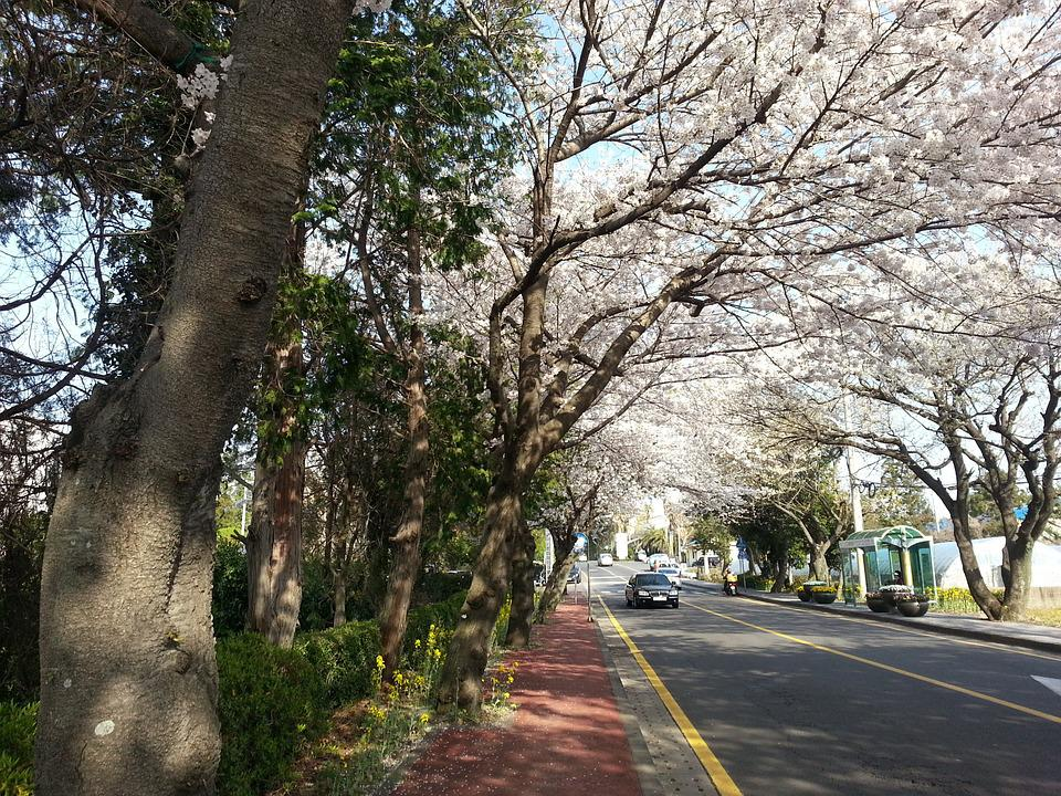 Jeju Island, Korea, Jeju, Cherry Blossoms, Flowers