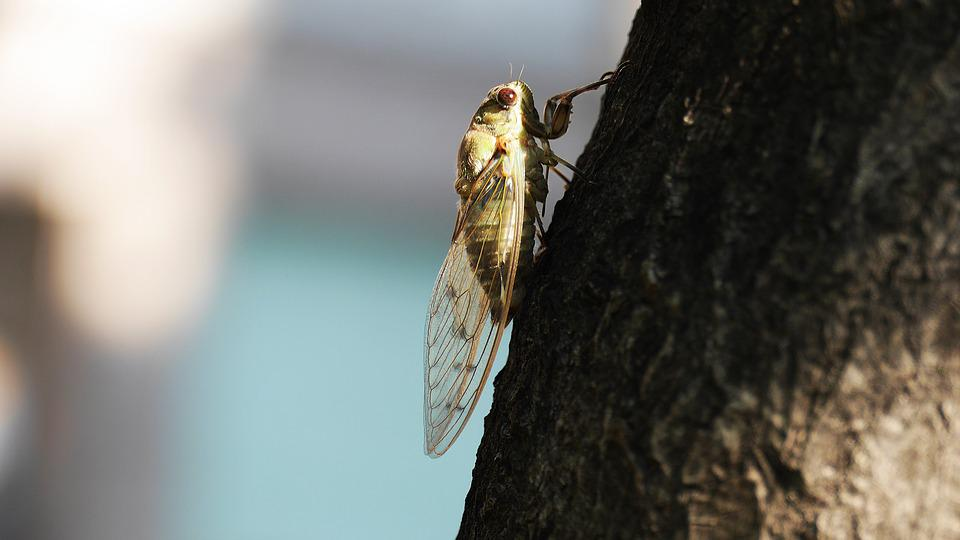 Cicada, Insects, Summer, Nature, Wing, Cries, Korea