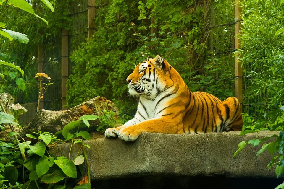 Tiger, Amur Tiger, Korkeasaari, Zoo