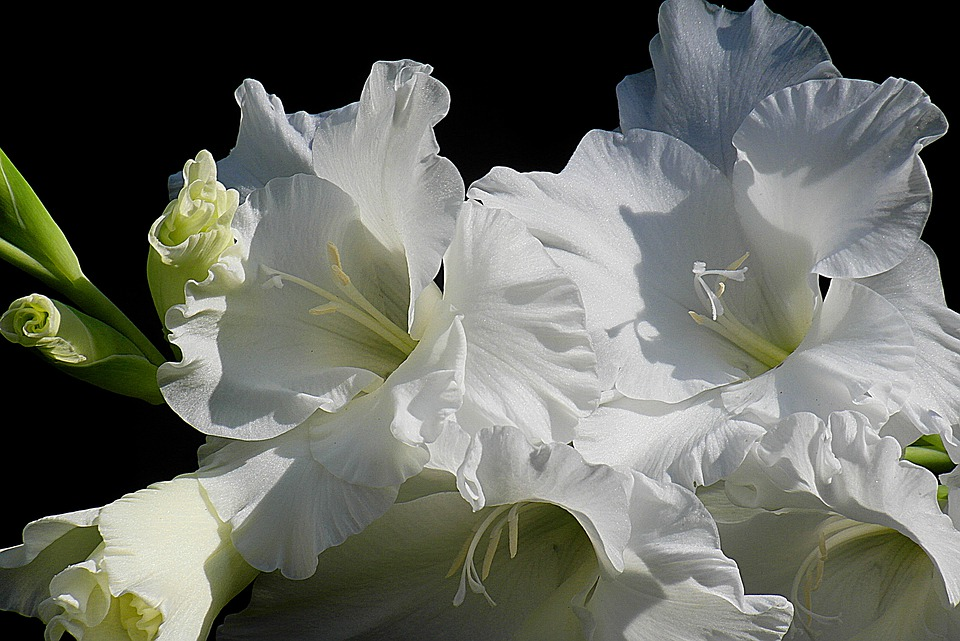 Gladiolus, Flower, White, Kosaćcowate, Clear