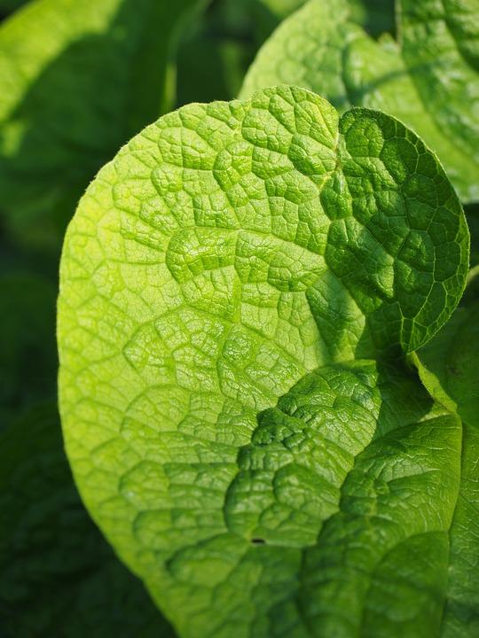 Leaf, Green, Nature, Wrinkled, Thong, Rau, Kraus