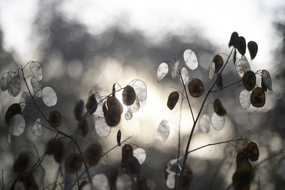 Mondviole, Judassilberling, Kreuzblütler, Lunaria Annua