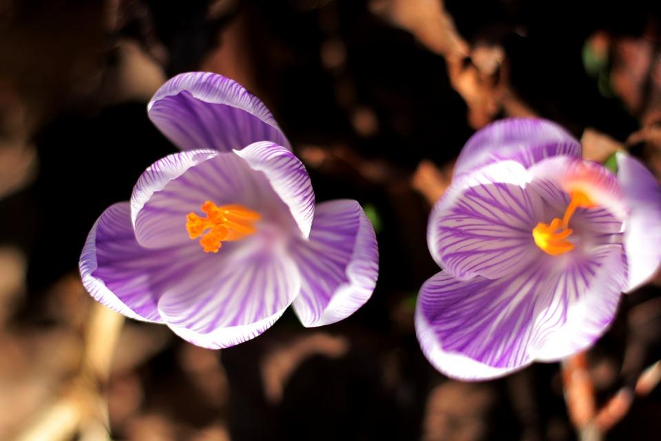 Krocus, Striped, Stamens, Pestle, Orange, Purple