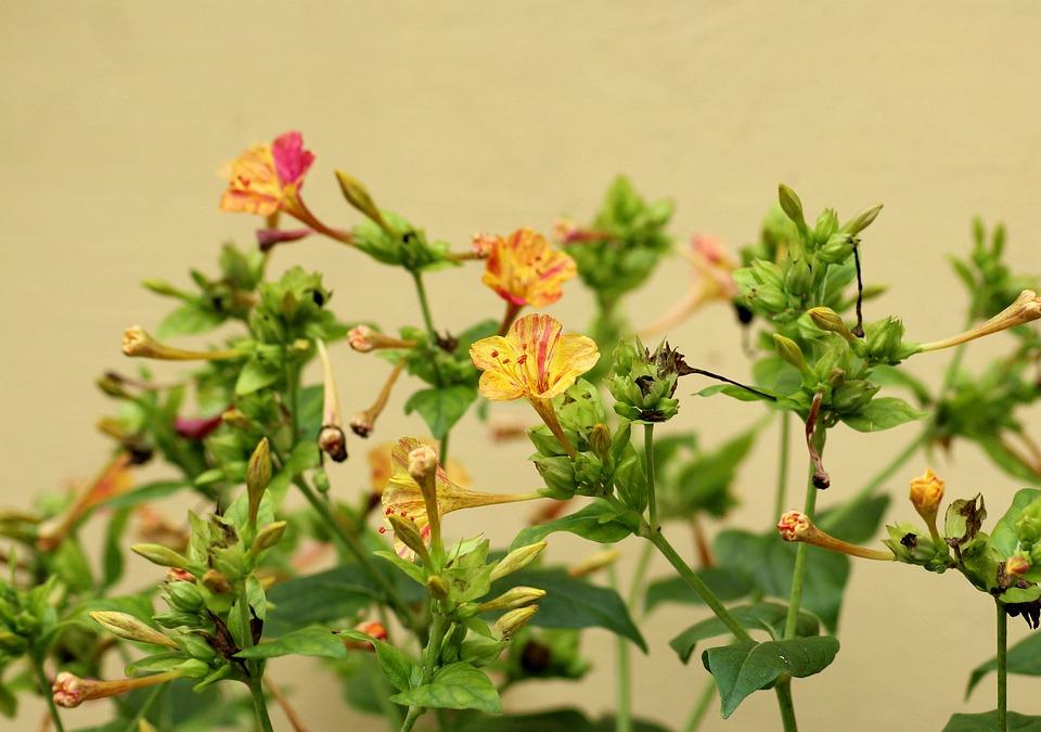 Krzewuszka, Bush, Yellow Flowers, Summer, Flowering