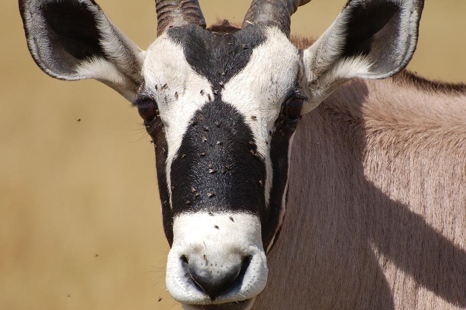 Kudo, Safari, Brown, Horn, Antelope, Bush