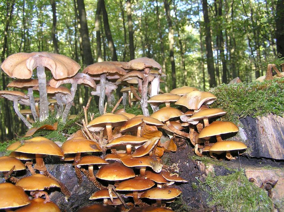 Nameko, Mushroom, Forest Mushroom, Kuehneromycesessen