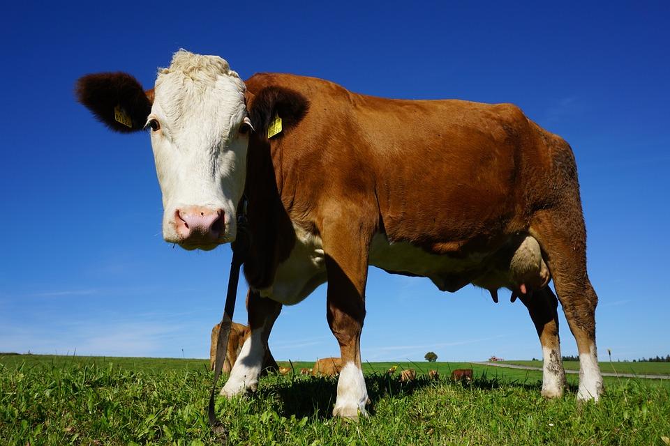 Cow, Animal, Cattle, Alm, Kuhschnauze