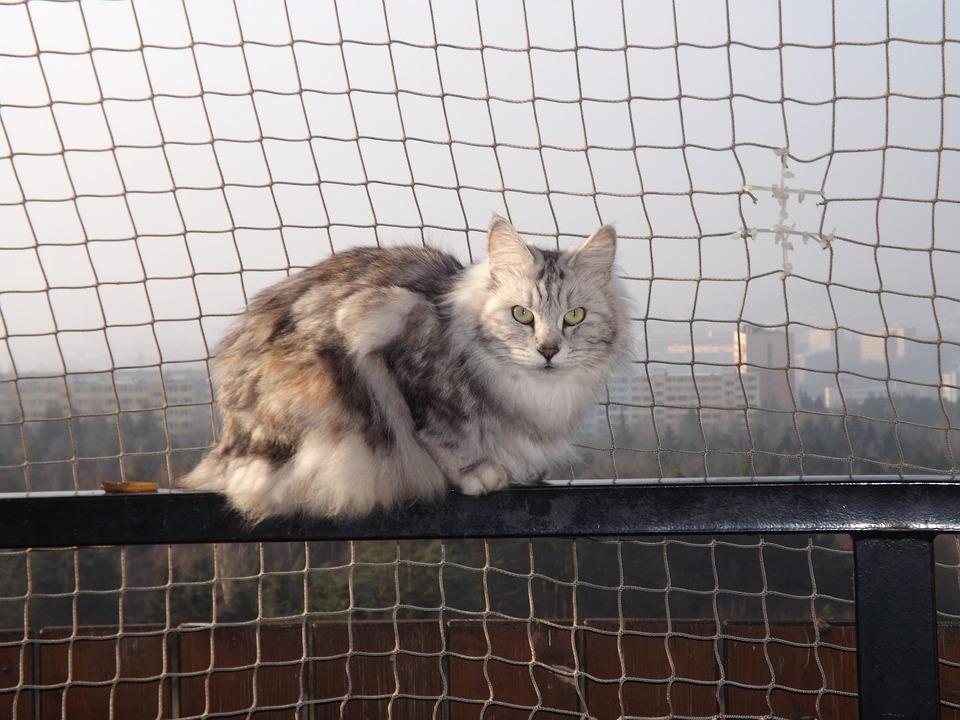 Cat, Animal, Kurilean Bobtail
