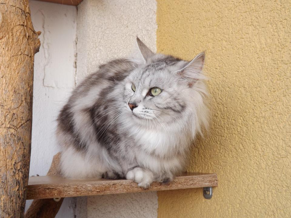 Cat, Animal, Kurilian Bobtail