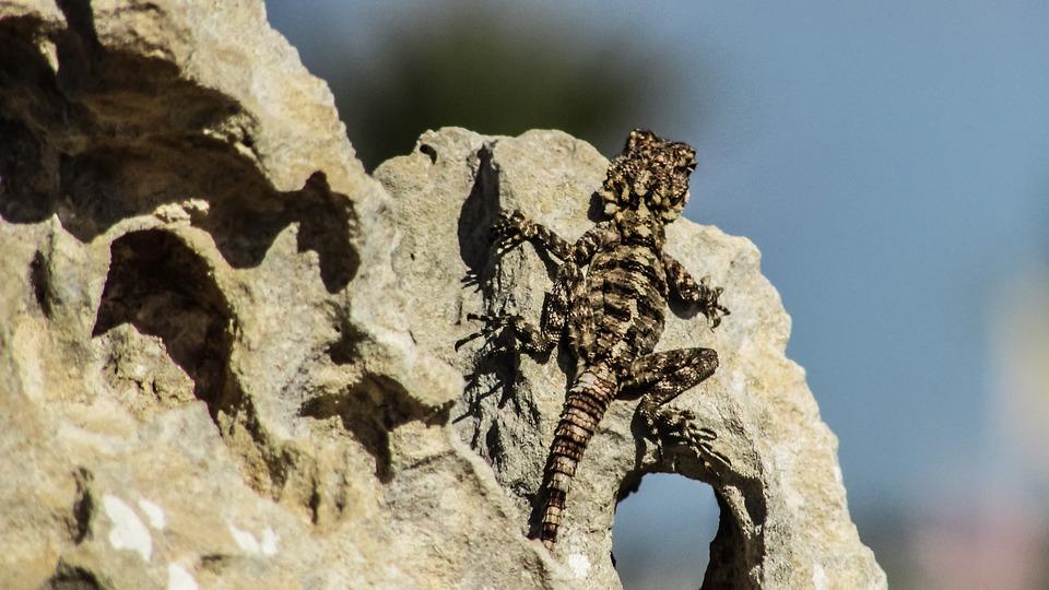 Cyprus, Lizard, Kurkutas, Reptile