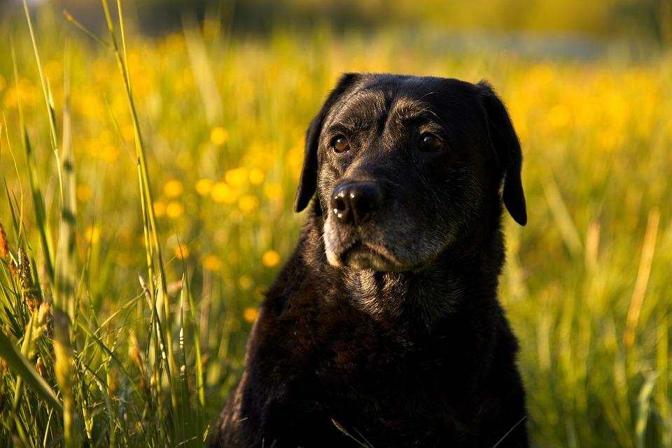 Dog, Pet, Labrador, Lab, Black Dog, Animal