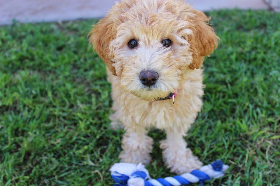 Puppy, Labradoodle, Dog, Cute Puppy, Cute Dog, Blonde