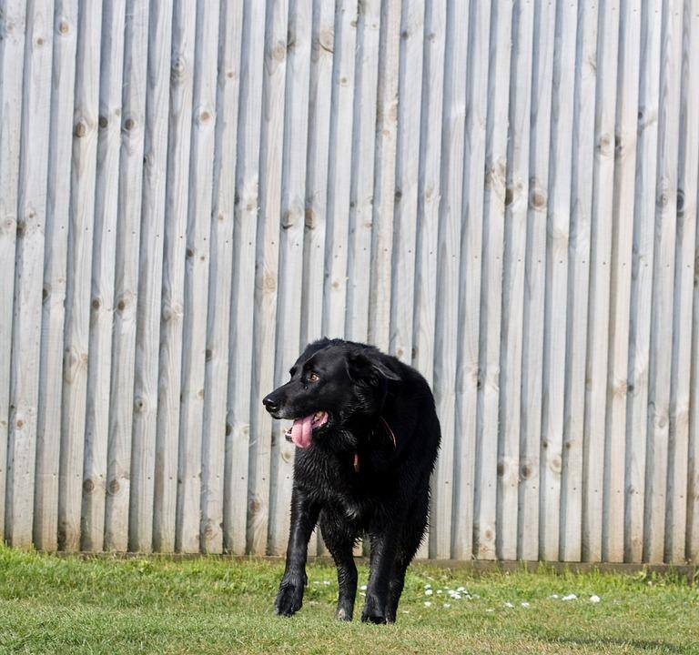Dog, Black, Labrador, Standing, Grass, Green, Pet