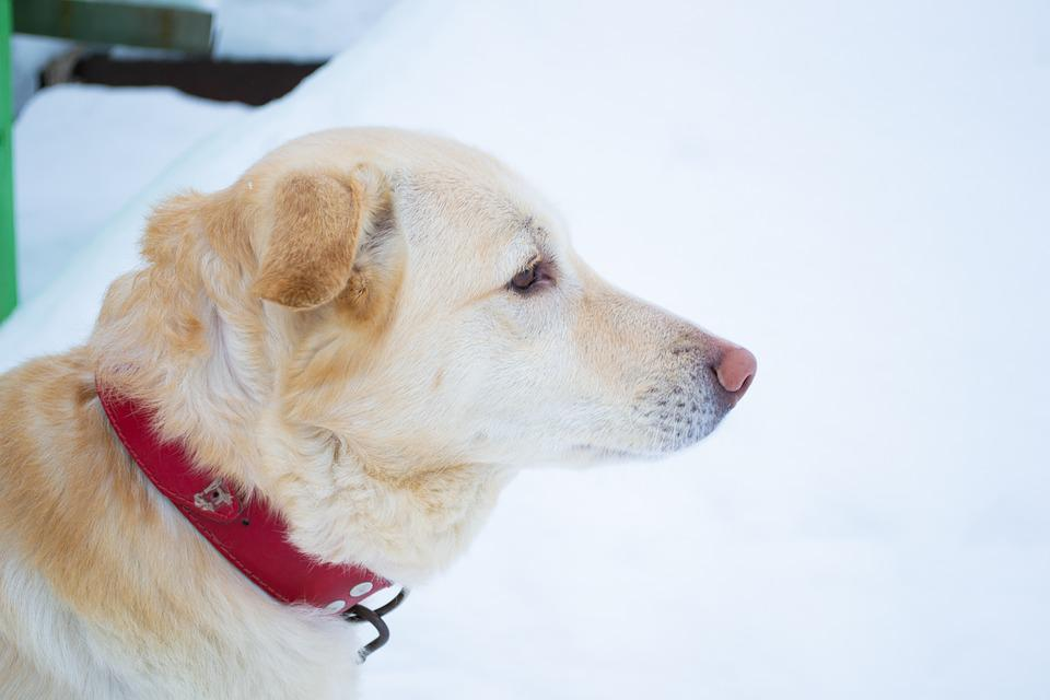 Dog, Labrador, Winter, Cold, Snow, Golden, Retriever