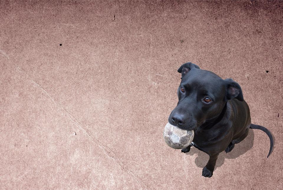 Cute Dog, Labrador, Pet, Animal, Card, Canine, Playful
