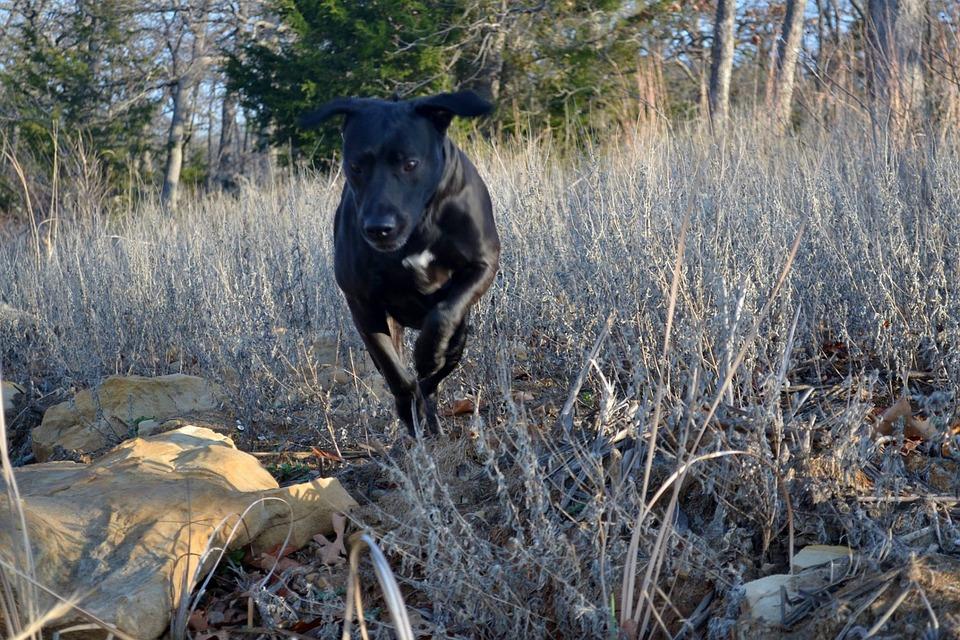 Running, Labrador, Happy, Retriever, Dog, Pet, Active