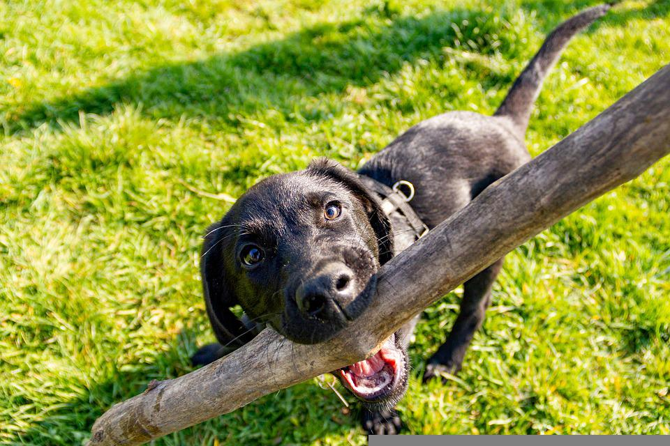 Dog, Labrador, Black Dog, Grass, Play, Meadow