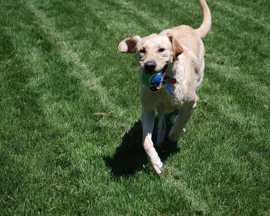 Dog, Yellow, Labrador, Retriever, Labrador Retriever