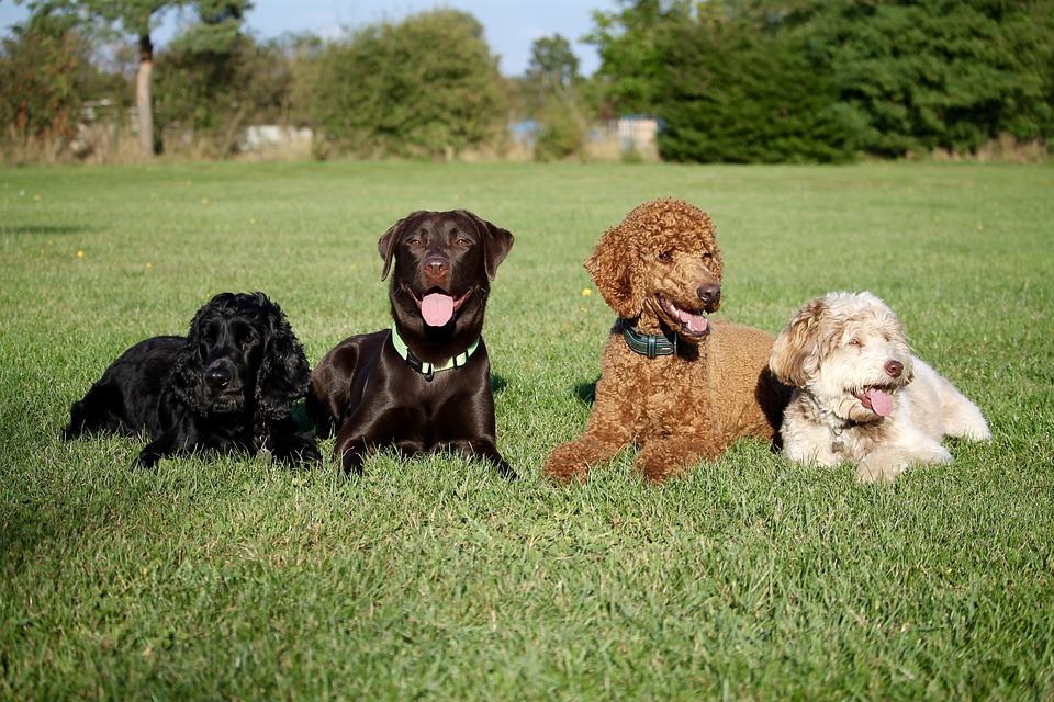 Dogs, Friends, Best Friends, Labrador, Poodle, Cocker