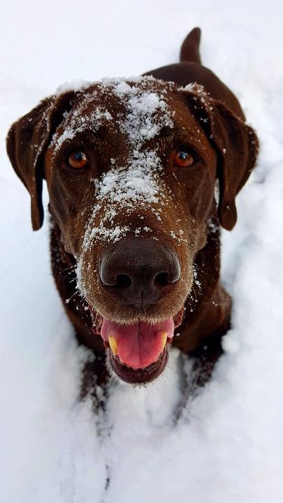 Labrador, Dog, Winter, Animal, Retriever, Cute, Nature