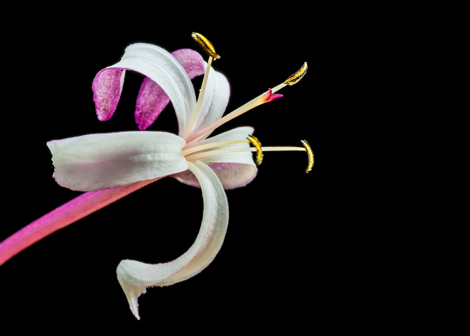 Blossom, Bloom, Flower, Lady Sansai, Close