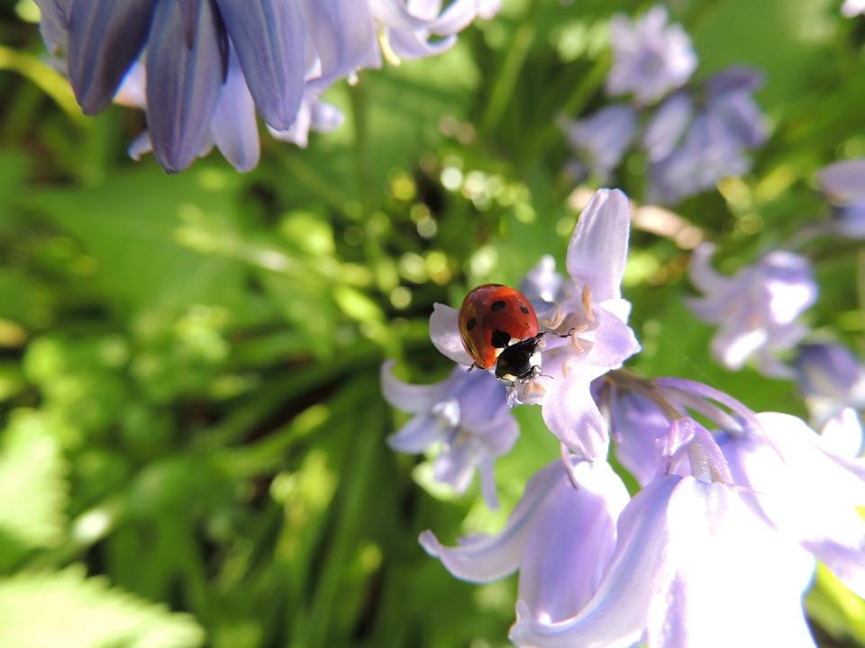 Ladybird, Flower, Nature, Ladybug, Spring, Plant