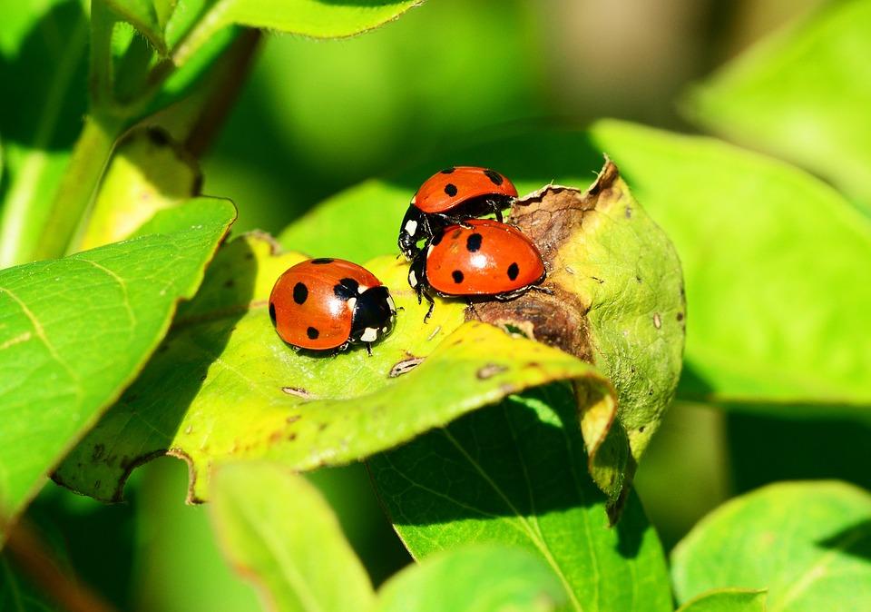Ladybird, Group, Seven-spot Ladybird