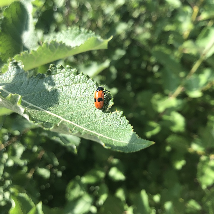 Ladybug, Animal, Insect, Beetle, Nature, Grass, Leaf