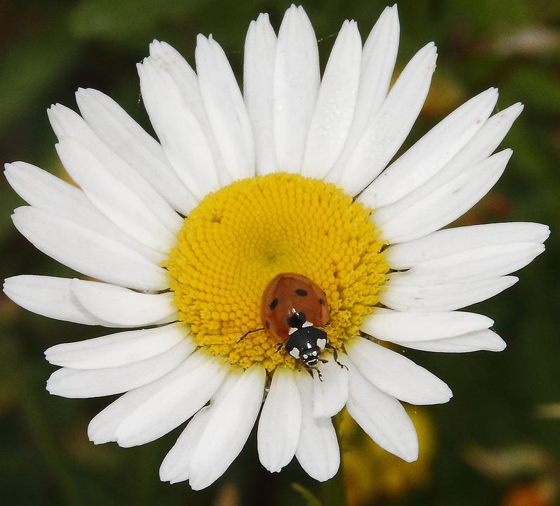 Ladybug, Daisy, Animal, Plant, Nature, Flowers, Insect