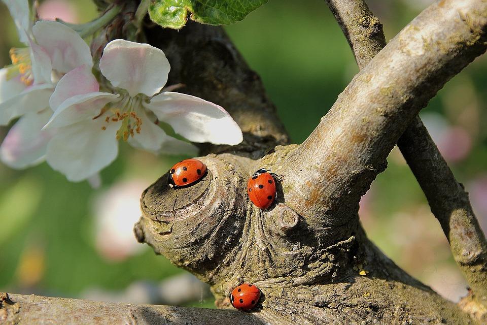 Ladybug, Apple Blossom, Road