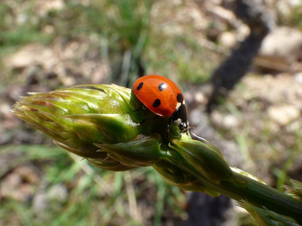 Ladybug, Asparagus, Detail, Coccinella Septempunctata