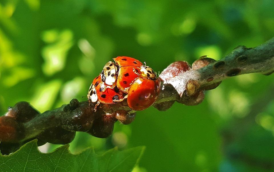 Ladybug, Ladybird, Lady Beetle, Harlequin, Beetle, Bug