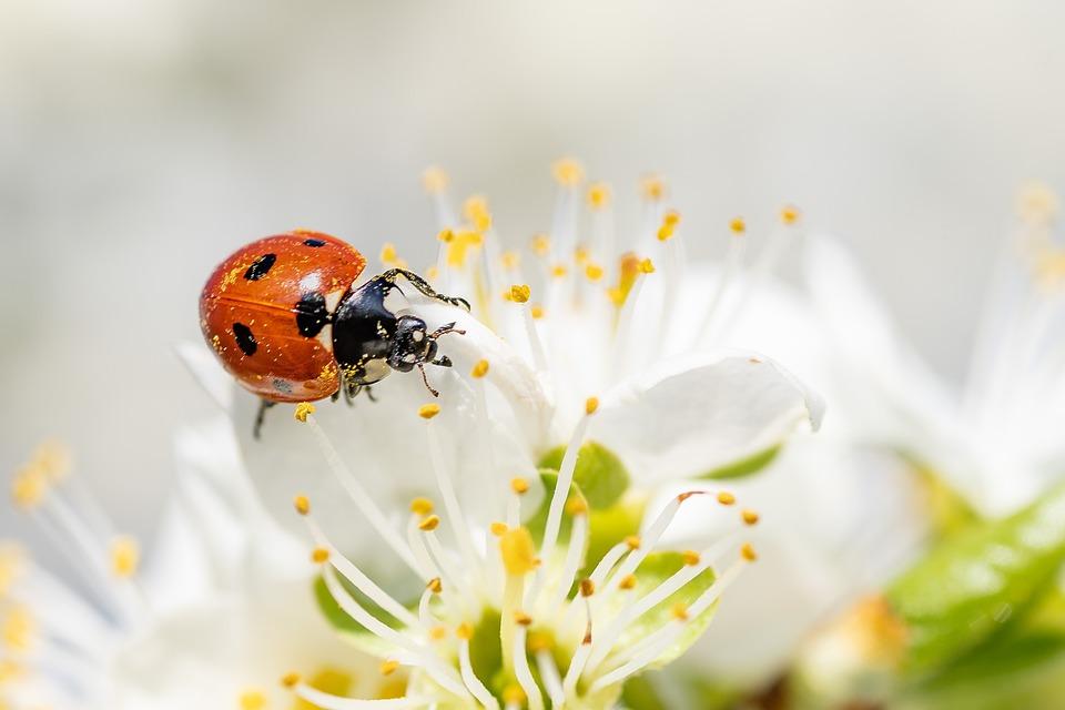 Ladybug, Insect, Blossom, Bloom, Macro, Leaf, Spring