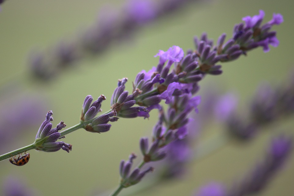 Ladybug, Beetle, Lavender, Macro, Nature, Insect, Red