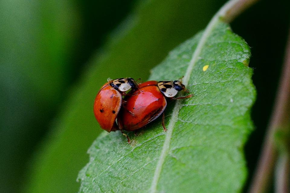 Ladybug, Pairing, Close Up, Garden, Summer, Macro