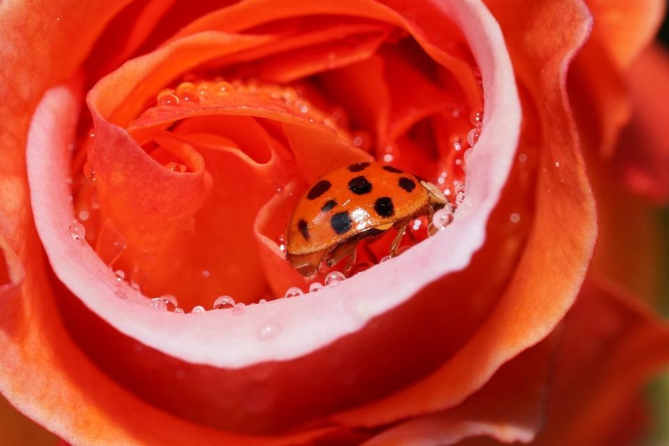 Rose, Flower, Ladybug, Red, Red Rose, Petals