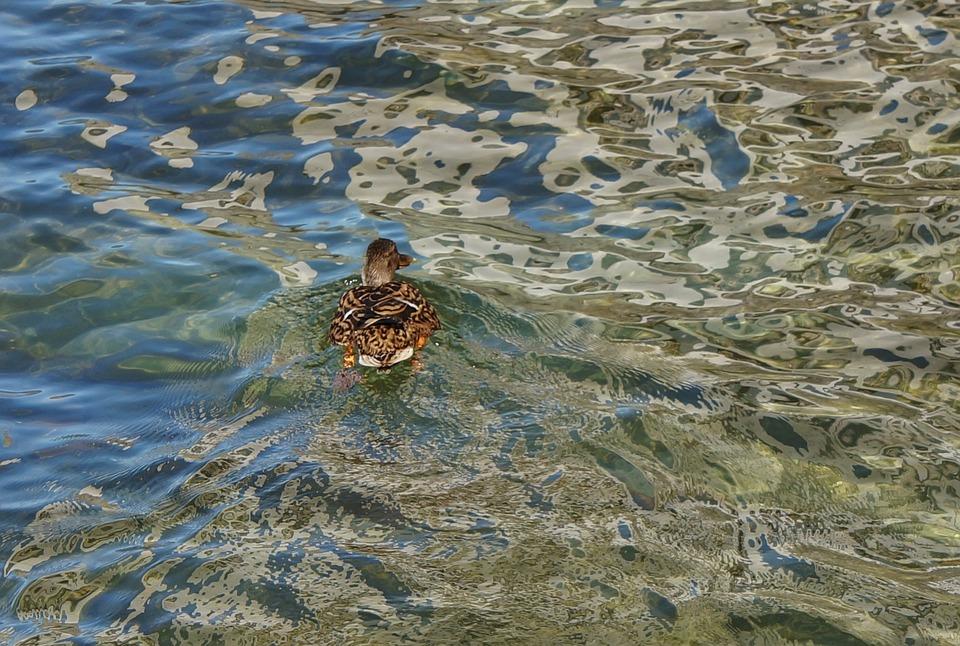 Water, Pattern, Duck, Lake, Lago Maggiore