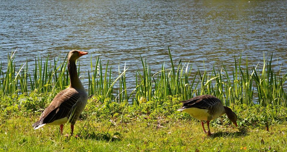 Bird, Animal World, Nature, Waters, Lake, Water Bird