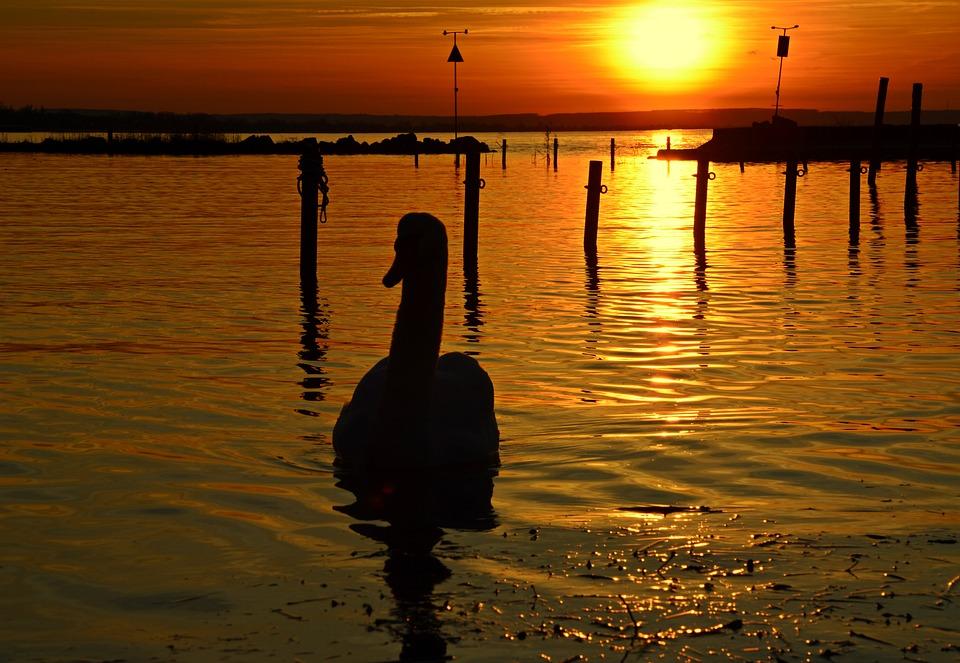Lake Balaton, In The Evening, Swan, Dusk, Sunset, Light