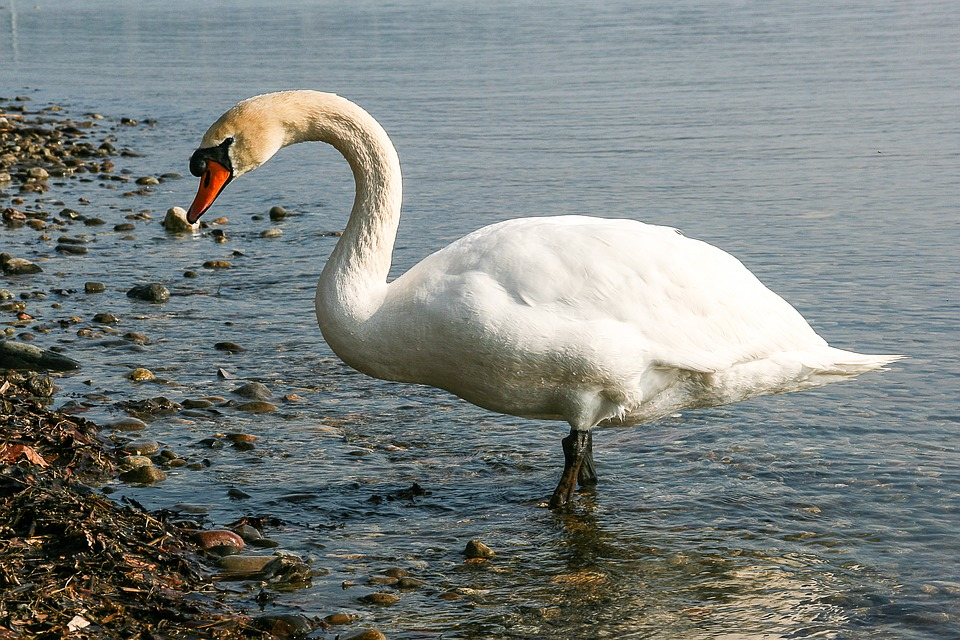 Swan, Animal, Water, Bank, Lake, Water Bird