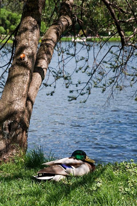 Duck, Tree, Beach, Vertical Photo, Nature, Lake