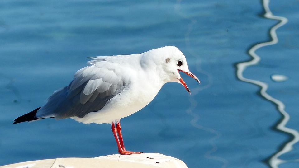 Seagull, Cry, Lake, Bird, Noisy, Anger, Beak, Water