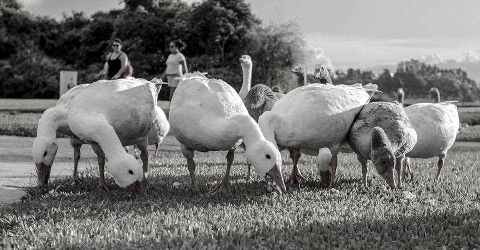 Goose, Park, Tranquility, Nature, Duck, Lake, Bird