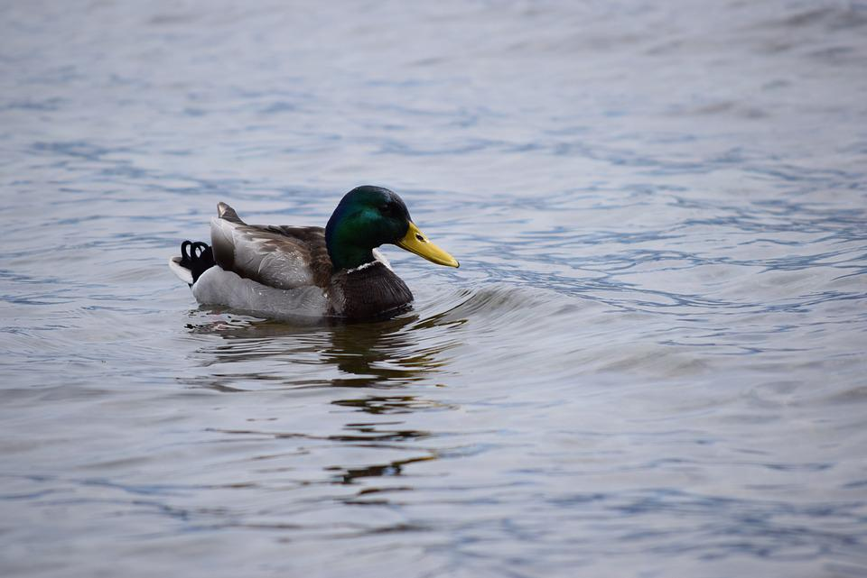 Duck, Lake, Como, Italy, Water, Bird, Nature
