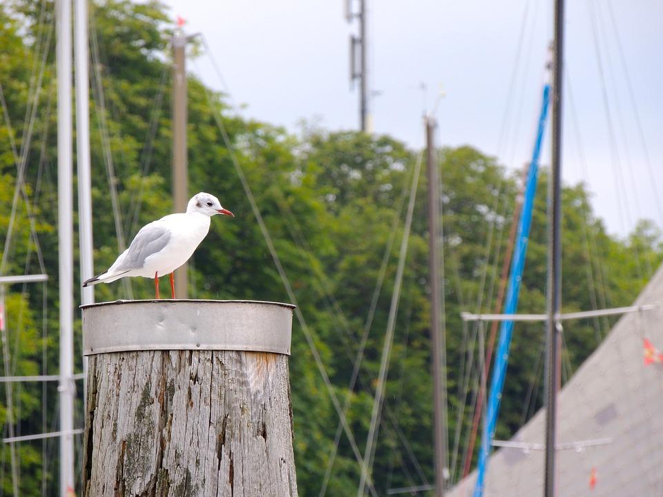 Seagull, Bird, Lake Constance, Lake