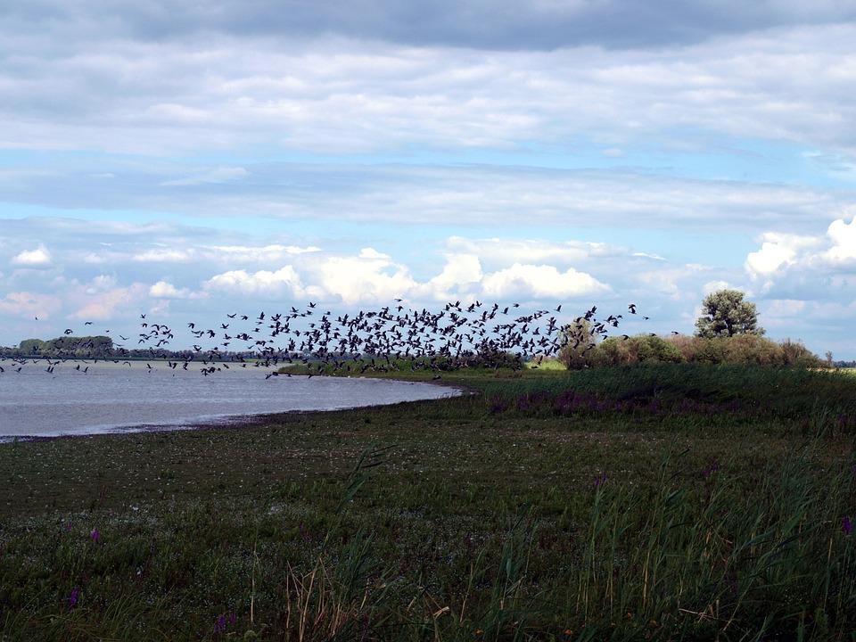 Migratory Birds, Flock Of Birds, Lake, Water, Birds